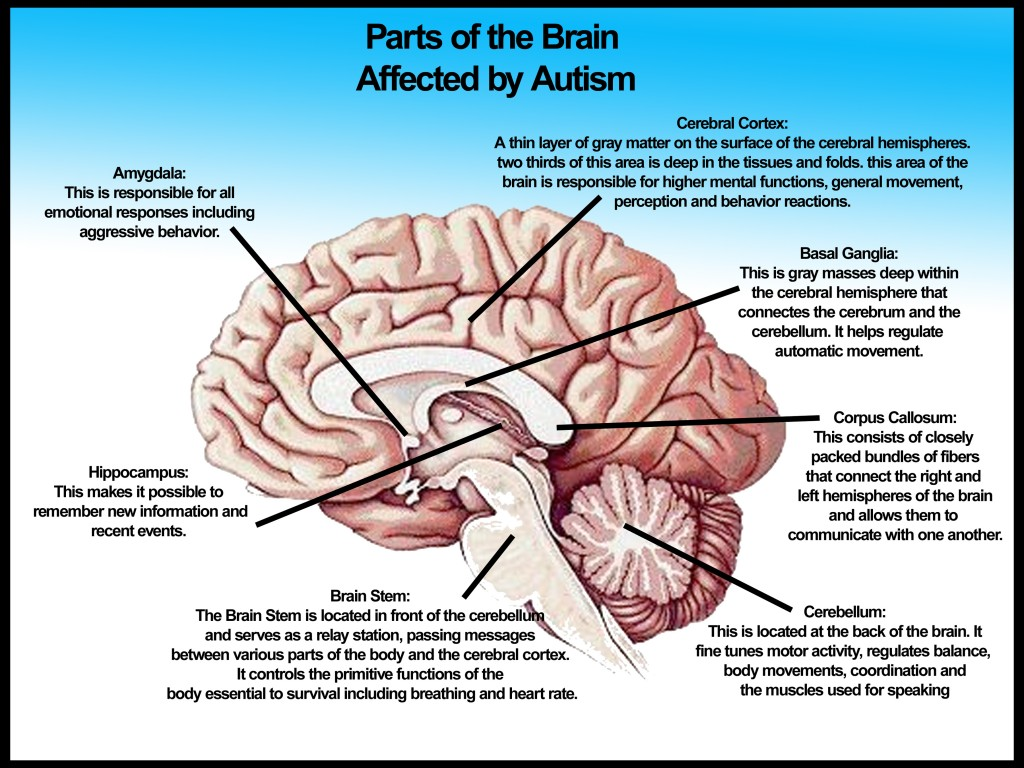 an analysis of the two parts of the brain According to the theory of left-brain or right-brain dominance, each side of the brain controls different types of thinking additionally, people are said to prefer one type of thinking over the other for example, a person who is left-brained is often said to be more logical, analytical, and objective.